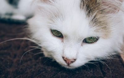 Your Pets and Congestive Heart Failure